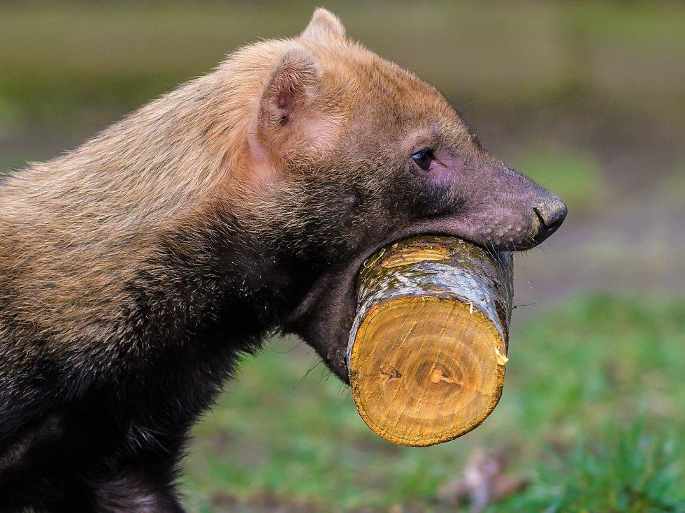 Psům pralesním umístili chovatelé kusy masa do dřevěných špalků svyvrtanými otvory.