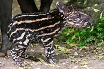 Sameček tapíra jihoamerického se narodil přímo ve venkovní expozici pražské zoologické zahrady.