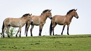 Další čtyři koně Převalského transportovala pražská zoo armádním letounem do Mongolska.