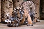 V pražské zoo byla dnes pokřtěna mláďata tygra malajského.