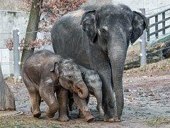 Sloni v pražské zoo si užívali první jarní procházku, ven vyrazily i slonice Tamara a Janita se slůňaty. Menší Rudi se zpočátku hodně držel matky Tamary, starší Max běhal po celém výběhu.