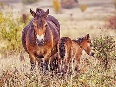 Po několika staletích je to první hříbě divokých koní, které se narodilo v české přírodě.