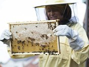 Stáčení prvního medu včelstva ze střechy budovy Magistrátu hl. m. Prahy