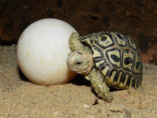 Želva a vejce.