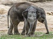Sobota bude patřit v Zoo Praha slonům, kteří mají Světový den. Těší se na něj i dvě slůňata.