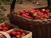Sběr jahod. Ilustrační foto.