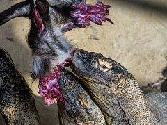 Varani komodští jsou schopni svoji potravu pozřít celou včetně srsti, kopyt a velkých kostí. Po hodokvasu nezbude nic.