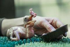 Odchovat mládě pelikána skvrnozobého, jednoho z nejvzácnějších druhů pelikánů, je velice náročné.