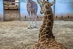 """V expozici žiraf severních núbijských se seznamují dvě žirafí mláďata. Jejich pohyb je zatím víceméně v režii matek, a tak jde spíše o vzájemné """"okukování"""" a """"oťukávání"""". V popředí na fotografii je sameček, za ním samička Nela."""