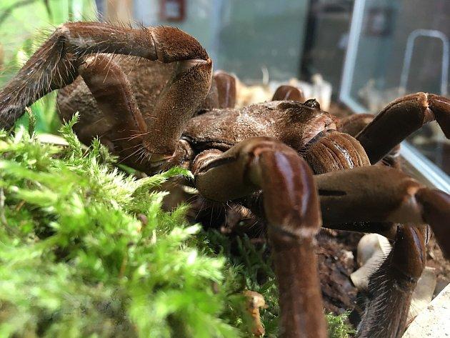 V Zoo Praha je k vidění 60 druhů živých sklípkanů a největším z nich je druh Theraposa stirmi.