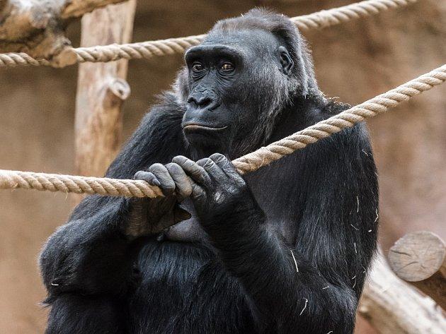 Samice gorily nížinné Kamba v pražské zoologické zahradě.