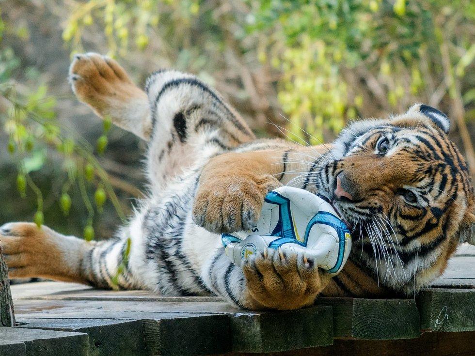 Expozice je třeba doplňovat i o hračky. Příkladem mohou být míče, snimiž si kočkovité šelmy (na snímcích tygr malajský) hrají ve všech ročních obdobích.
