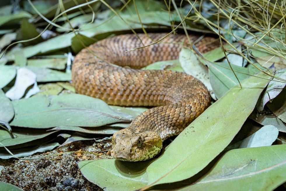 Smrtonoš zmijí je australskou obdobou zmijí, kterým však není příbuzný. Loví bleskovým výpadem ze zálohy, červovitě se svíjející ocas mu slouží za návnadu.
