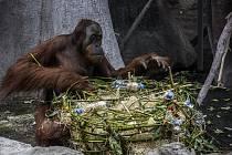 Pražská zoo připravila 19. srpna překvapení pro své orangutany v rámci mezinárodního dne orangutanů.