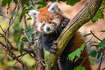 Panda červená. Sameček Flin.