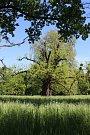 Kvasický ořešák černý, který je největším stromem svého druhu u nás, se nyní dostal do finále ankety Strom roku 2017.