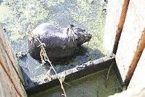 Vyčerpaný bobr zaměstnal v polovině minulého týdne pracovníky čističky odpadních vod v Morkovicích. Zvíře našli na schůdcích v nádrži, do které přitéká odpadní voda z kanalizace z celého města.