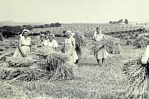 HORNÍ LAPAČ, ŽNĚ 60. LÉTA. Horní Lapač se jako okolní obce mohl těšit z úrody. Sklizně vymlácené slámy se v 60. letech chopily ženy z místního JZD.