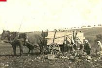 Prasklice. Řepná kampaň. Prasklice byly zemědělskou obcí, jednou z pěstovaných plodin byla i cukrová řepa. Snímek zachycuje její sklizeň v roce 1928.