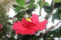 V rámci výstavy Kamélie královna plesových květin, která v Květné zahradě potrvá až do 12. března, se v sobotu místní palmový skleník na den vrátil o desítky let zpět do historie.