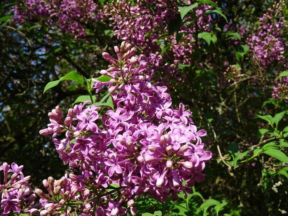 Květy šeříku a jírovce dominují v těchto dnech Podzámce.