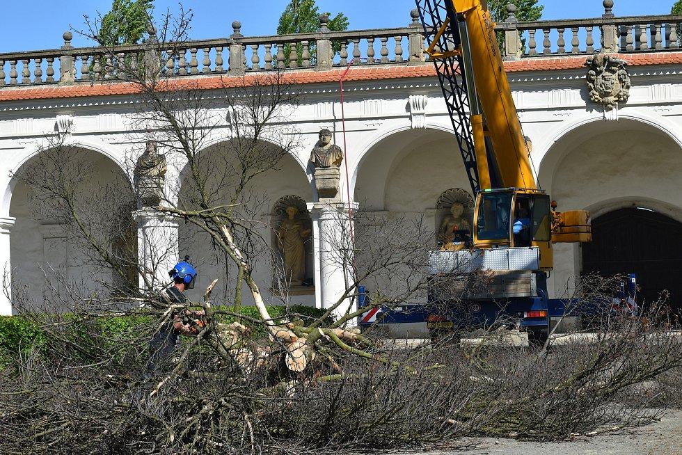 Kácení borovice v kroměřížské Květné zahradě, květen 2021.
