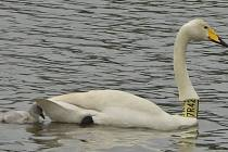 Zpěvanka již po čtvrté zahnízdila, ale opět neúspěšně. Začátkem května se jí vylíhla dvě mláďata, ale obě postupně uhynula.