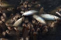 Ve vypuštěném odkališti teplárny u obce Bělov na Kroměřížsku během posledních dnů umrzly stovky ryb.