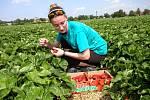 Samosběr jahod u Holešova.Na snímku brigádnice studentka UTB Michaela Maradová ze Zlína.