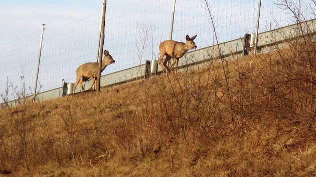Srny ohrožovaly provoz na dálnici mezi Hulínem a Otrokovicemi