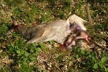 Tři zmařené životy. Útok psa nepřežila v minulém týdnu u Kostelan nejen dospělá srna, ale i mláďata, která jí v těle rostla. Chybělo přitom jen pár hodin, a narodila by se živá.