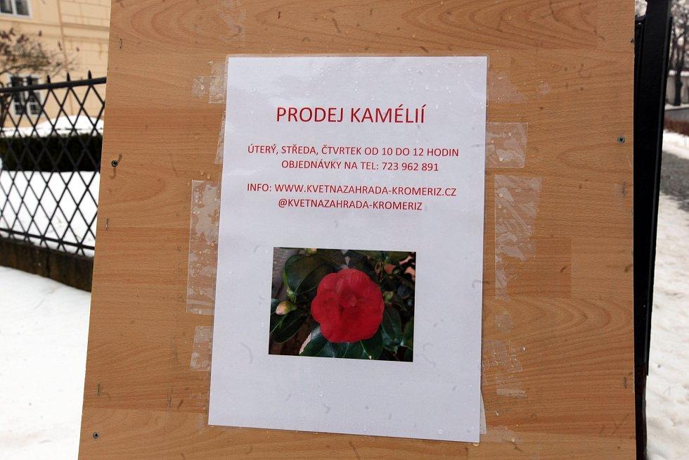 Tradiční výstava rozkvetlých kamélií. Letos bez veřejnosti. 2021
