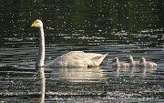 V Chropyni zahnízdila labuť zpěvná, podobná záležitost je přitom v Česku unikátem. Elegantní ptačí pár navíc o uplynulém víkendu vyvedl mláďata, konkrétně hned čtyři labuťátka.