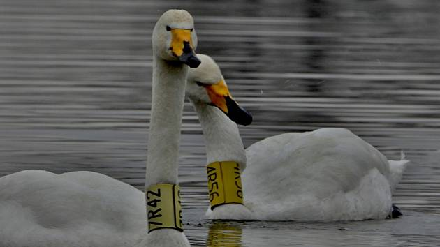 Jediný pár labutí zpěvných, který kdy hnízdil v České republice, na Zámeckém rybníku v Chropyni.