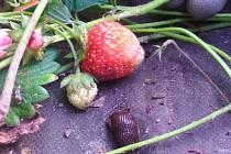 Přemnožení slimáci na Kroměřížsku pustoší úrodu. Zahrádkáři jich v záhonech nachází i stovky denně. Mezi jahodníky po nich zůstávají jen sklizské skvrny.