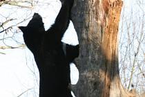 Je sice zima, medvědi ve zlínské zoo však nespí. Naopak, prohánějí se čile po venkovním výběhu.