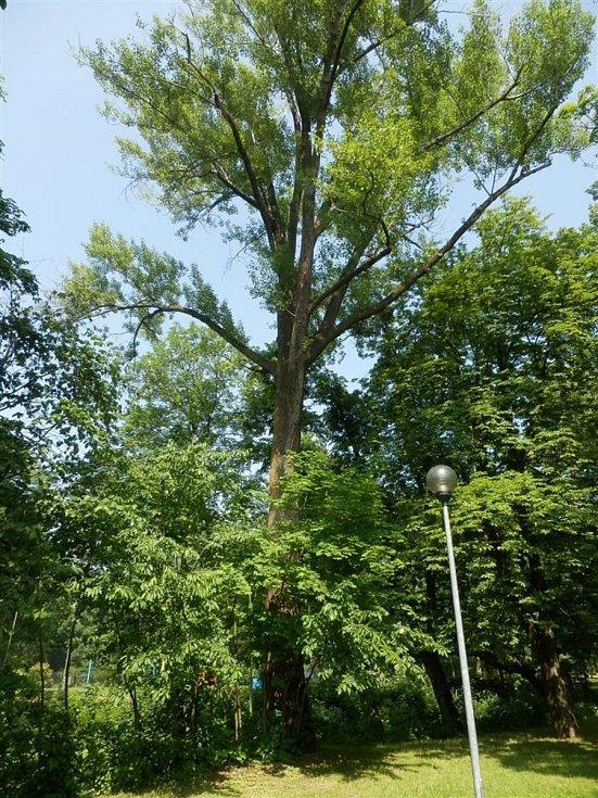Topol v bystřickém parku Zahájené je pro kolemjdoucí bezpečný.