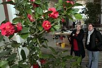 Výstava Kamélií v Rotundě Květné zahrady v Kroměříži.