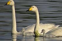 Labuť zpěvná z Chropyně pojmenovaná Zpěvanka je českým unikátem a letos dělá ornitologům radost znovu, opět totiž zahnízdila.