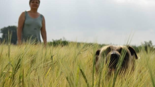Zlátnoucím polím v regionu se blíží čas sklizně.