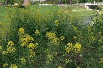 Řepka olejná roste téměř všude. I na břehu řeky Moravy v Kroměříži.