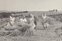 ŽNĚ 60. LÉTA. Horní Lapač se jako okolní obce mohl těšit z úrodnosti. Sklizně vymlácené slámy se v 60. letech chopili ženy z místního JZD.