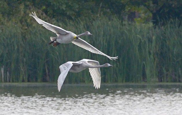 První a jediná mláďata labutí zpěvných, která se narodila ve volné přírodě v České republice, mají za sebou sto dní života – a právě se na domovském Zámeckém rybníku v Chropyni učí létat.