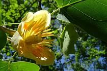 V Podzámecké zahradě právě kvete Liriodendron tulipifera.