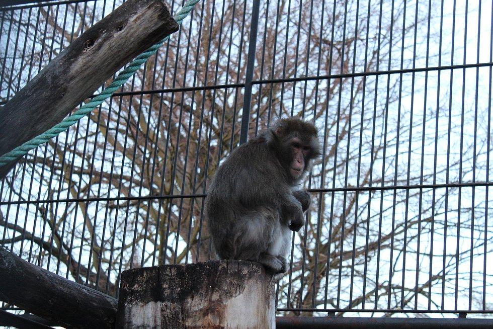 Opice žijí v Podzámecké zahradě v Kroměříži vedle pávů, daňků a dalších zvířat už desítky let.