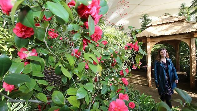 Velký skleník v Květné zahradě v Kroměříži budou od pátku 22. února 2019 krášlit půvabné kvetoucí kamélie.