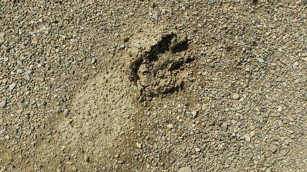 Stopa velkého psa, kterou vLitenčicích zaměnili se stopou pumy.