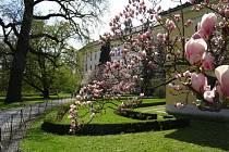 Krásné magnólie v kroměřížské Podzámecké zahradě.