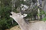 Pátý ročník výstavy Myslivost a příroda zahájili v pátek na kroměřížském výstavišti Floria. Návštěvníci si tam během víkendu mohou ověřit své znalosti ze světa zvířat, vyfotit se s dravcem, vyzkoušet střelbu z luku nebo venkovní laserovou střelbu na letíc