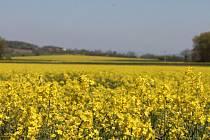 Pole v okolí Kroměříže jsou jako mnohé další v regionu osety řepkou.